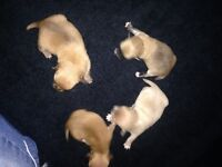 Lovely little Chihuahuas