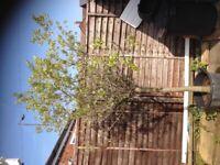 Olive tree £100 ono