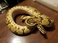 Male phantom spider yellowbelly royal python / snake