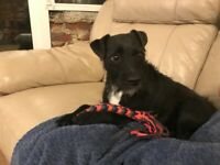 Re-homing Patterdale x Jack Russell 5 years old