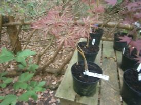 "ACER PALMATUM DISSECTUM ""EVER RED"" POTTED GARDEN/PATIO/BONSIA PLANT JAPANESE MAPLE"