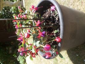 Beautiful Healthy Fuchsia Bush in Extra Large Dark Grey Container