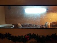 Large male bearded dragon and full setup