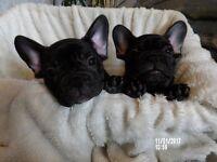 Beatiful French Bulldog Pupppy