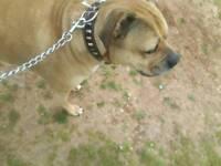 Mastiff x