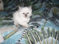 Beautiful Ragdoll Kittens- 2 left ( one Boy and one Girl)