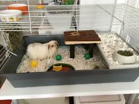 Male Guinea Pig with cage etc inc food and bedding