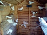 Young tumbler pigeons for sale