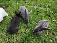 Baby giant rabbits for sale ready to go now £20.00 each