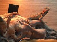 Female Orange Hypo Translucent Bearded Dragon + 4ft Vivarium & Goodies!