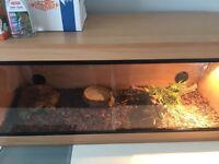 Black Lined Plated Lizard Setup