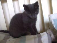2 Beautiful grey kittens (female)