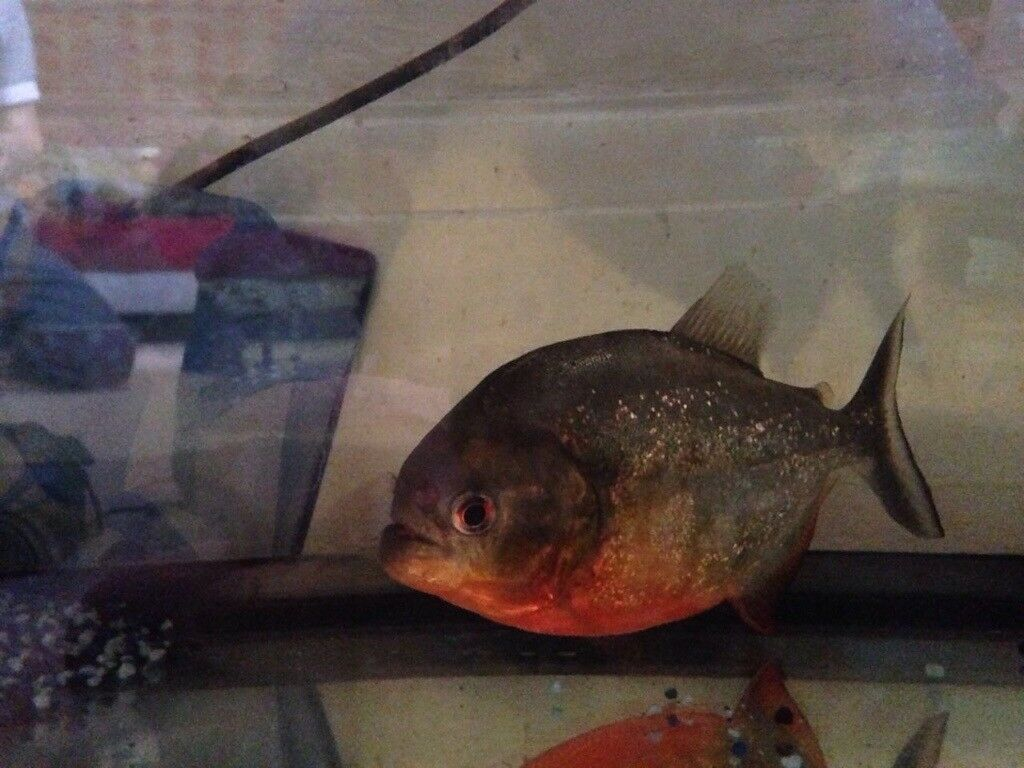 Piranha red belly fish, tank/aquarium | in Livingston, West Lothian |  Gumtree