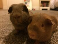 2 Guinea Pig Brothers - Frank and Phil