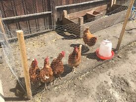 Five laying chickens, coop, feeders, food & bedding