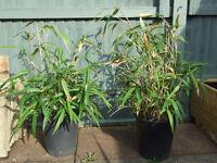 bamb00 plant