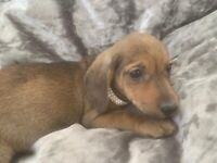 Jack Russell x miniature dachshund puppy