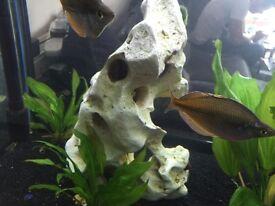 Autralian rainbow fish
