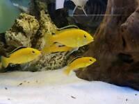 Yellow Lab African Cichlid Fish