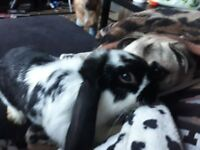 2baby buns free dbl hutch and 2 months suply of everything 10kg food chiped vaced spayed