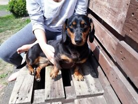 Stud for dachund she is 3 n a half and is ready to be mated in a week