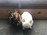 Male guinea pigs for sale