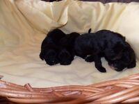 Quality F1 Cavapoo Puppies
