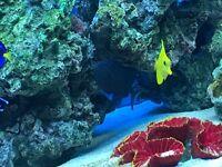 Blue niger marine triggerfish