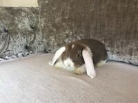 Giant french lop doe **ready to leave**
