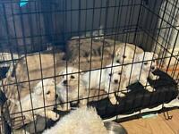 Bichon frise puppies 🐶