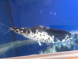 Big catfish for sale