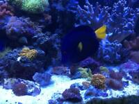 Marine fish xl purple tang