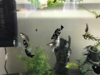 Sailfin Molly -fish for sale £1/ each, or 5 for £3, or 10 for £5 - pick up only