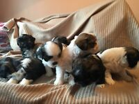 *Delightfu Lhasa Aso puppies for sale* Pupdated!
