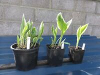 Hosta Plants For Sale £2.00 - £ 5.00