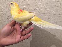 Beautiful Baby Tame Yellow Latino Red Rump Parrot