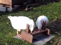 two embryo geese for sale