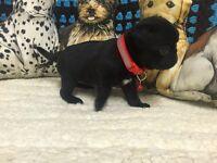 KC Pug Girl puppies