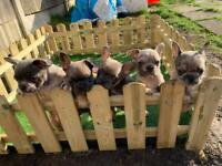 Merle French bulldog pups ready March