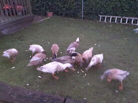 Indian Runner ducks for sale.