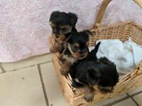 3 miniature Yorkshire terrier puppies