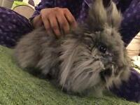 Lion head rabbit to good home