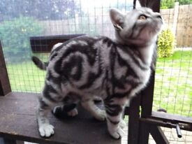 Beautiful British Shorthair Silver Tabby kittens last of the Sargent's line