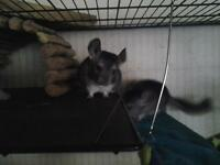 8 MONTH OLD MALE GREY CHINCHILLA