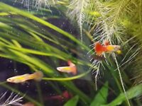 Red Gold Guppies / Guppy Fish - young 3 months old