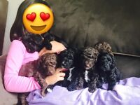 High Quality Cockapoo Puppies