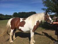 Horse Pony - 14.3 H Comptois/Cob Cross for Sale