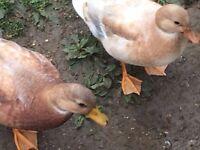 2 apricot call ducks for sale born 9/7/16