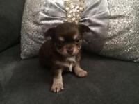 Beautiful Pedigree Chocolate Male Chihuahua