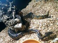 18month old royal python snake and set up